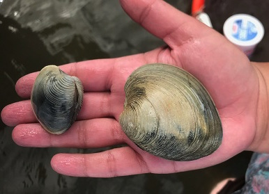 SURFO Special: Keep clam and carry on! Comparing diet differences in awning clams and quahogs