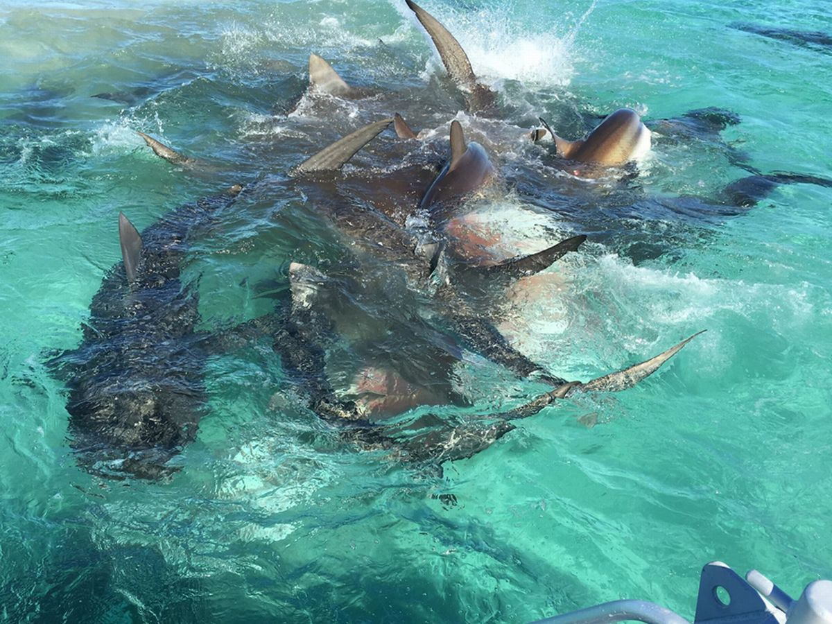 There's No Such Thing as Free Lunch:  Observing the Foraging Behavior of Sharks Feeding on a Sperm Whale Carcass