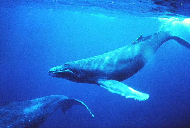 Humpback Whales Harmonize with Changing Environments