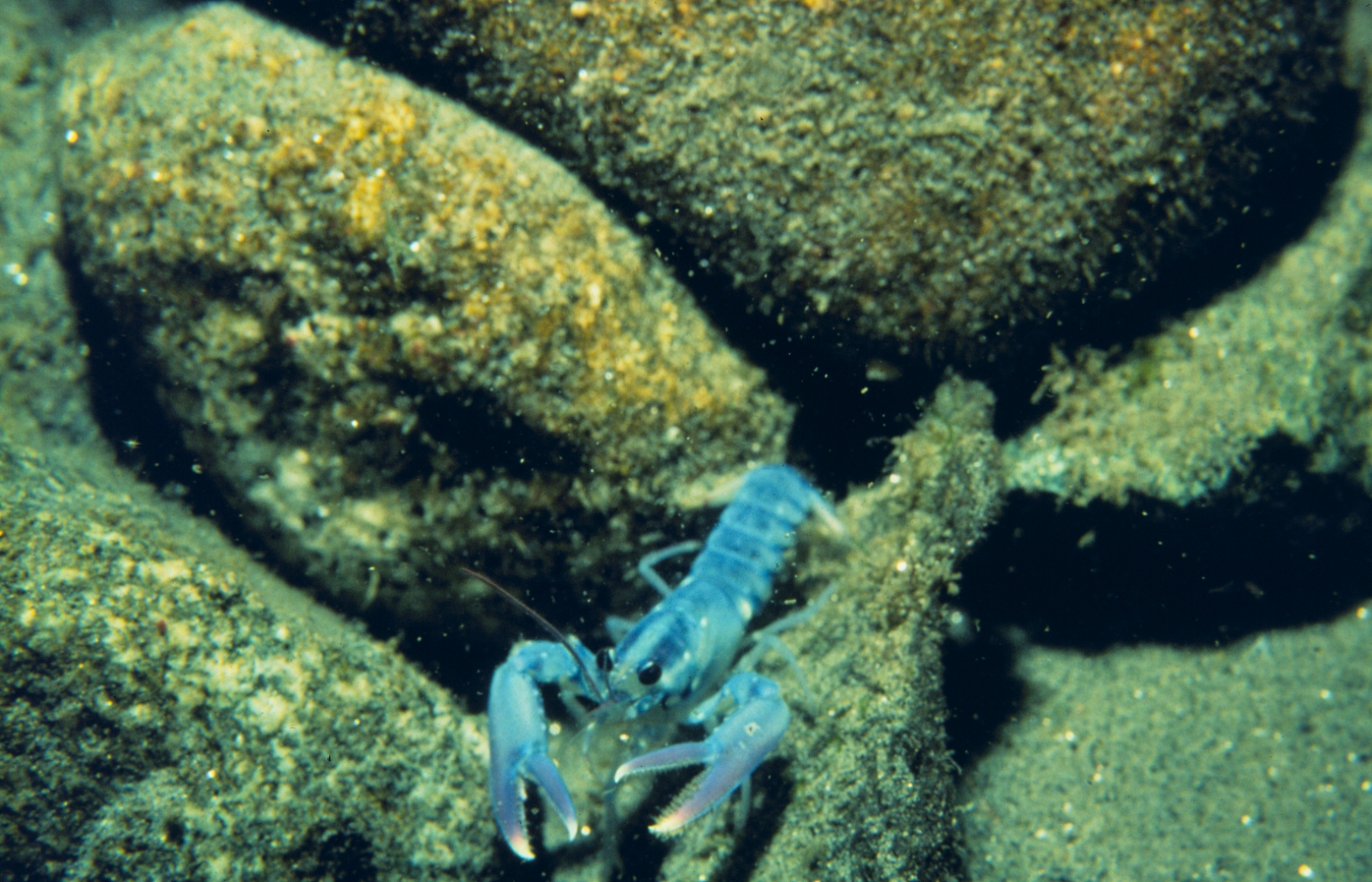 A silver lining: How warming waters in the Gulf of Maine gave lobsters a leg up