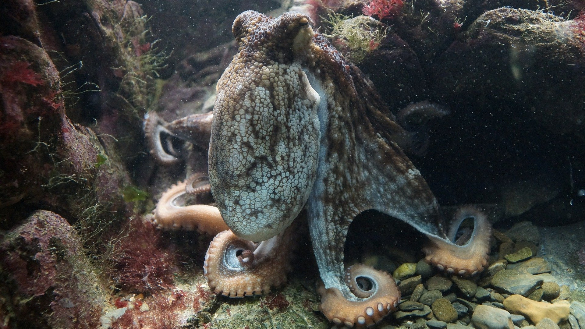 No nerves lost: Octopuses can regenerate their nervous system.