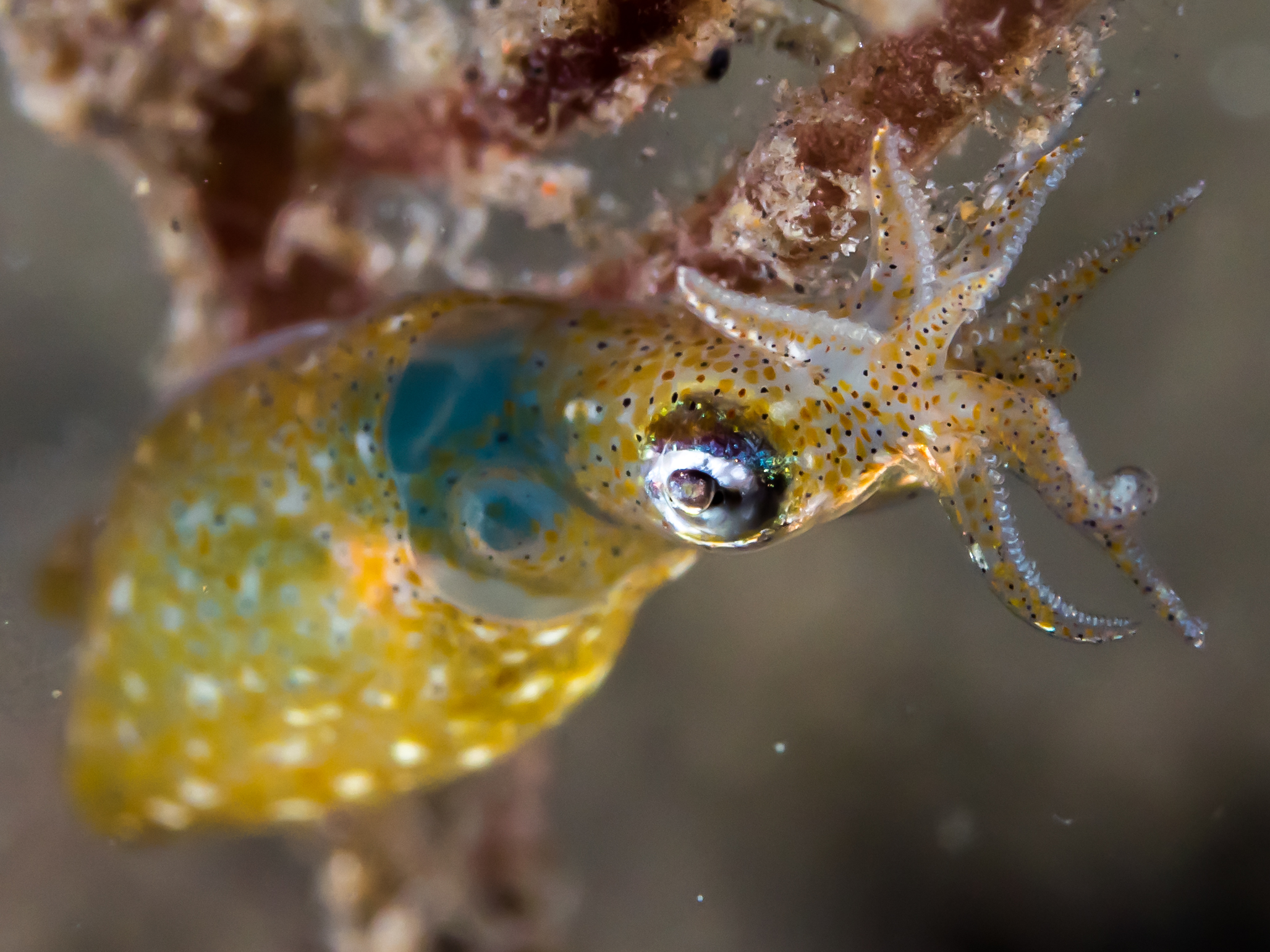 Ocean Acidification is no Small Matter to Two-Toned Pygmy Squid Reproduction