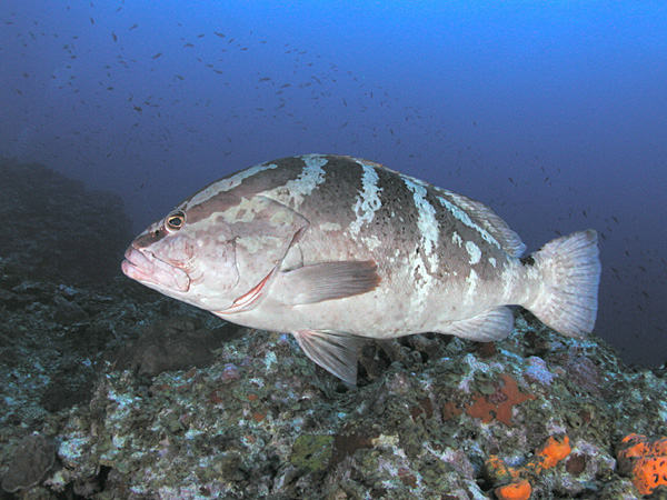 A story of success for the Cayman Island's Nassau Grouper