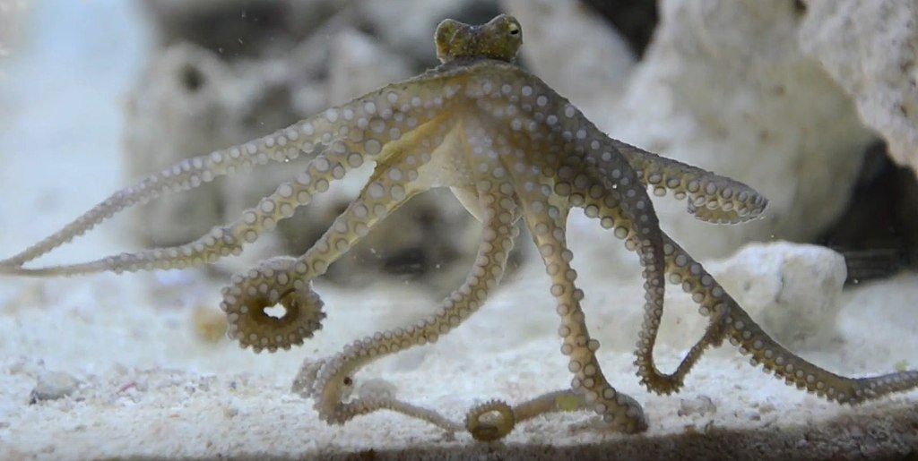 Octopuses can learn from an iPad too