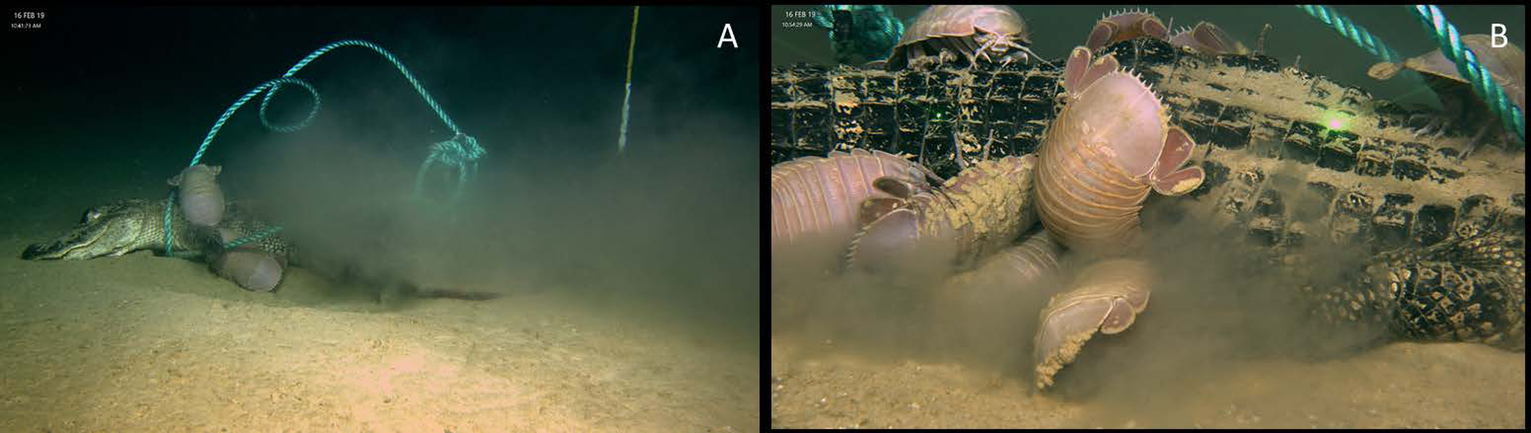 Sinking Alligator Carcasses into the Deep Ocean to See What Eats Them
