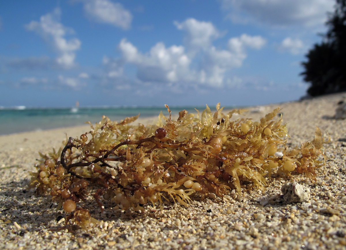 Sargassum: An Overlooked Solution