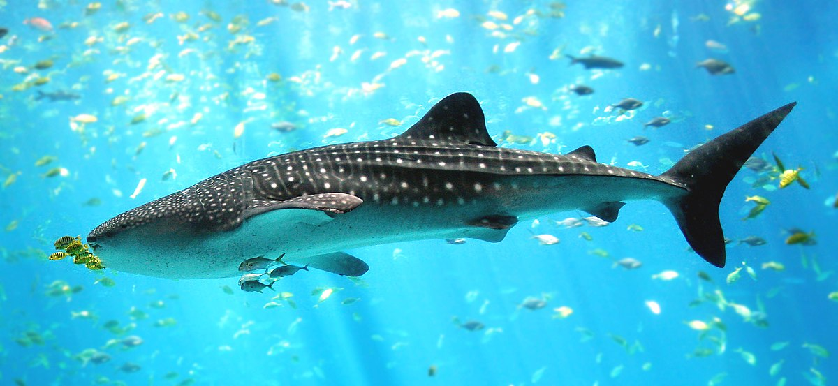How scientists use our nuclear past to understand whale shark life history