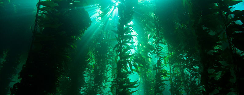 Size Matters in Kelp Forests – Big, Dense Populations Are Better Equipped to Recover from Disturbance