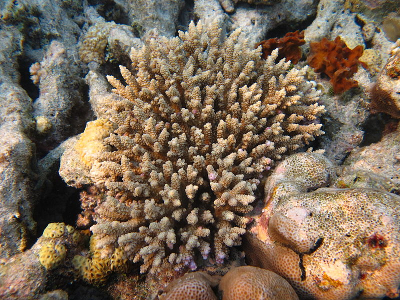 Turning up the heat: lab-adapted symbionts help coral survive warming waters