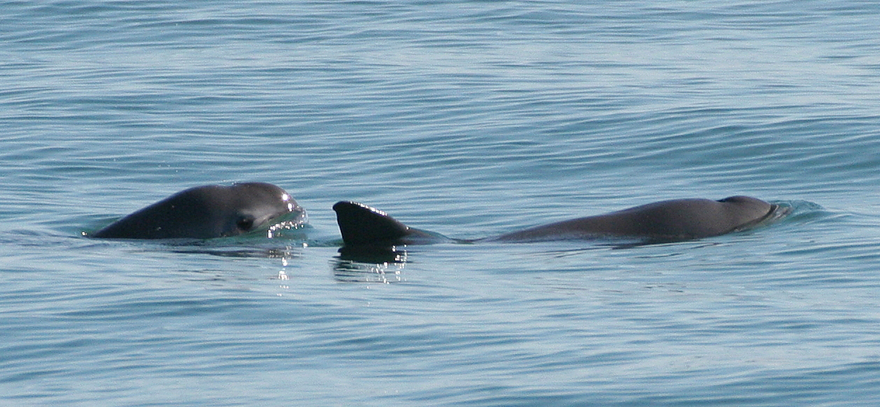 VaquitaCPR: Trying to save the world's most endangered marine mammal