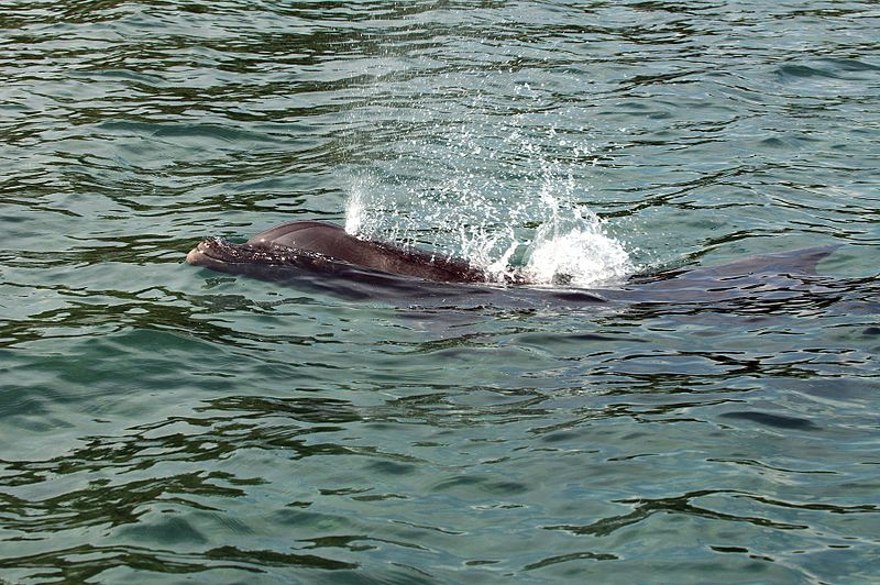 Sneeze, Cough, Chuff: Respiratory Irritation in Dolphins