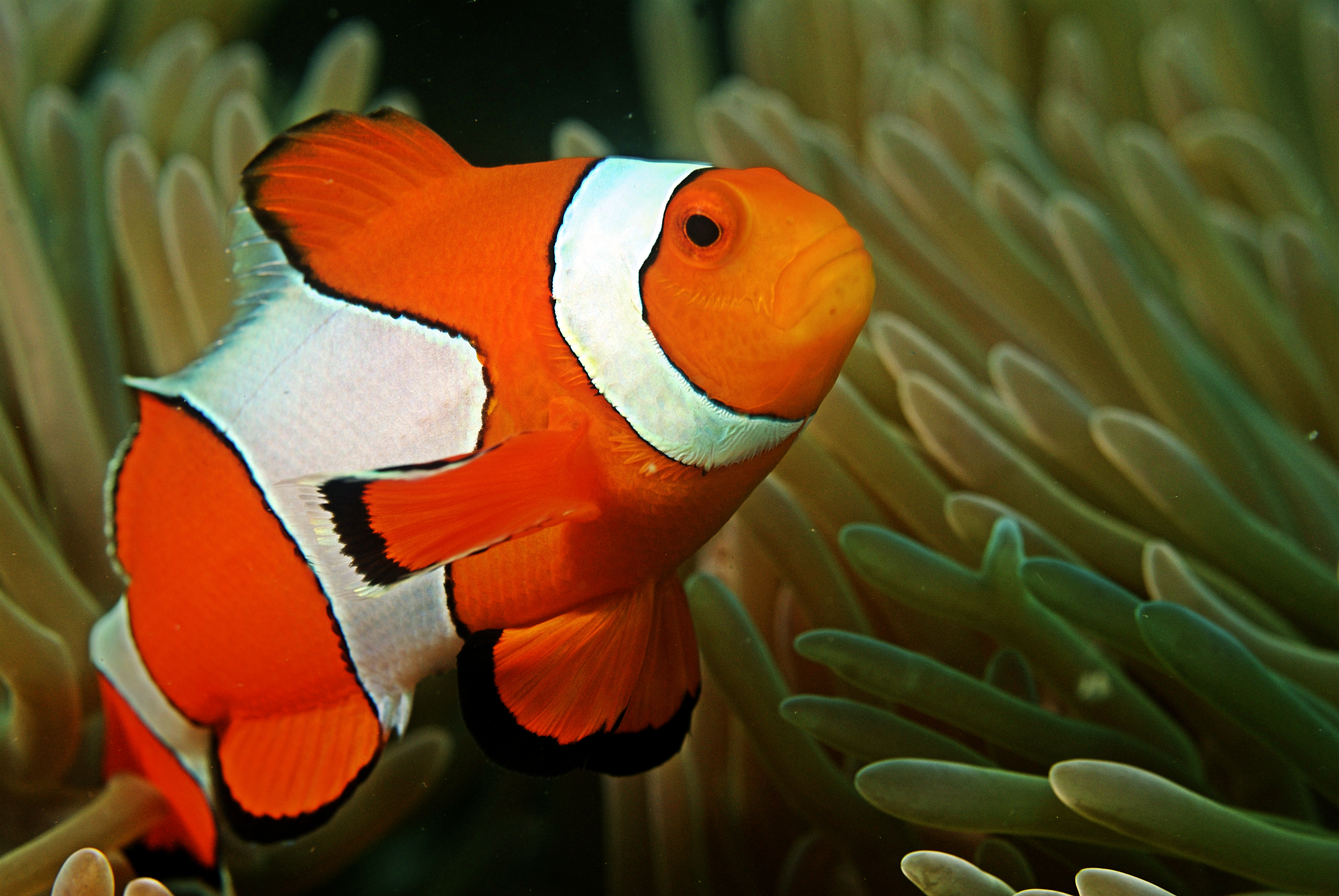 Stop Clowning Around: Cyanide Fishing in the Indo-Pacific