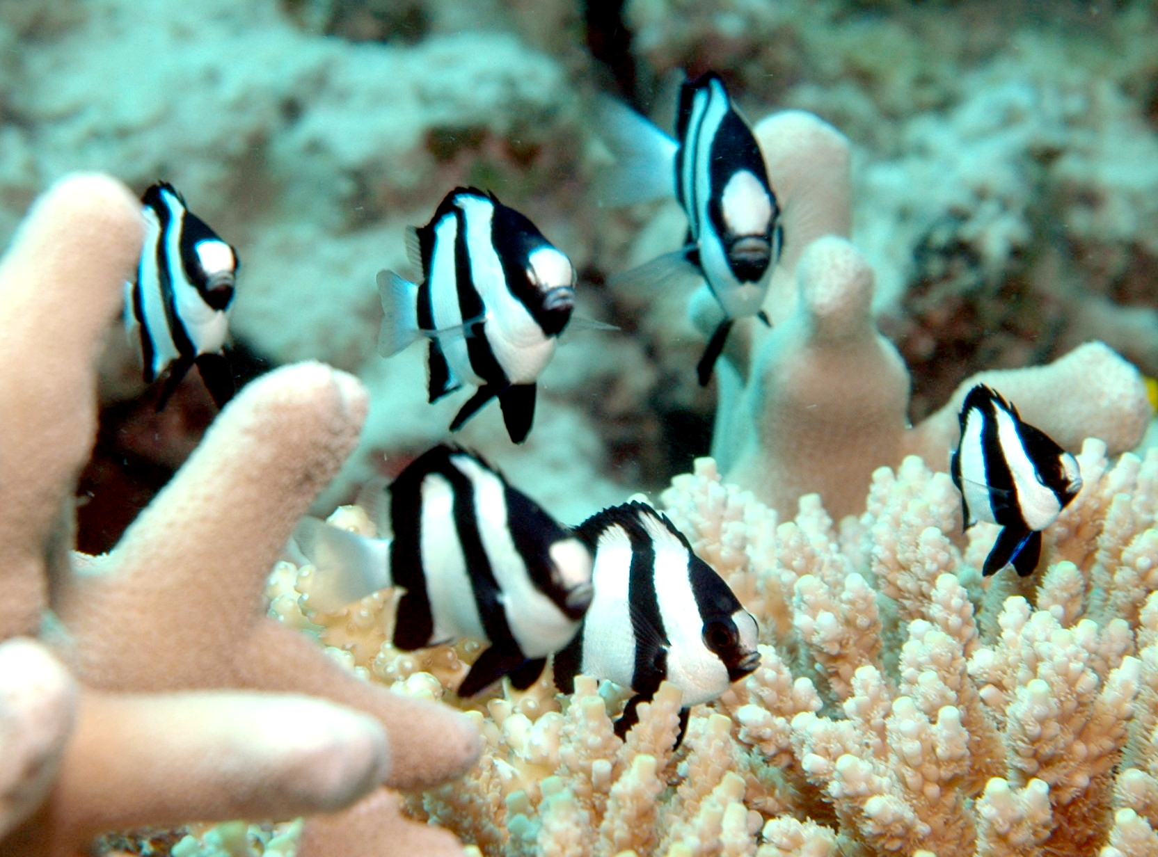 A Fishy Ally to Help Coral Reefs