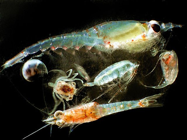 What your poop says about your diet: Iron in the ocean is controlled by zooplankton diet and poop