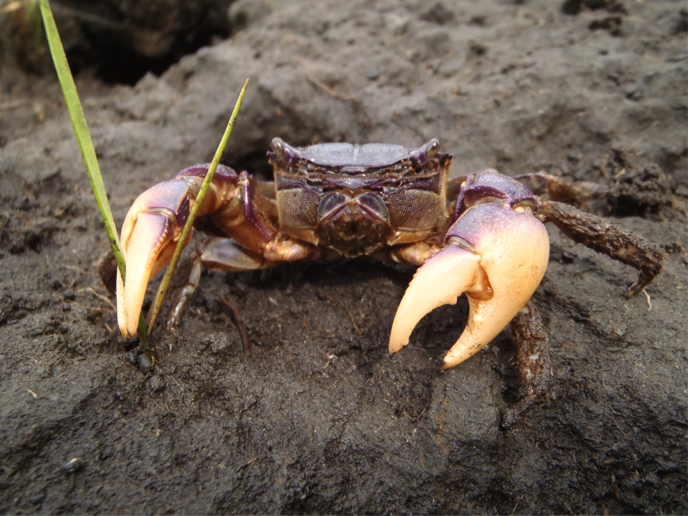 Consider the marsh crab: Climate change shifts which species are key