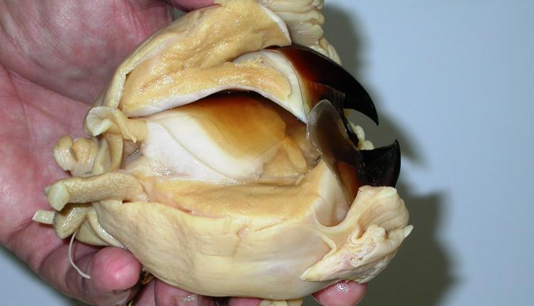 An image of a fully extracted giant squid beak. The beak itself is a dark or light brown in color.