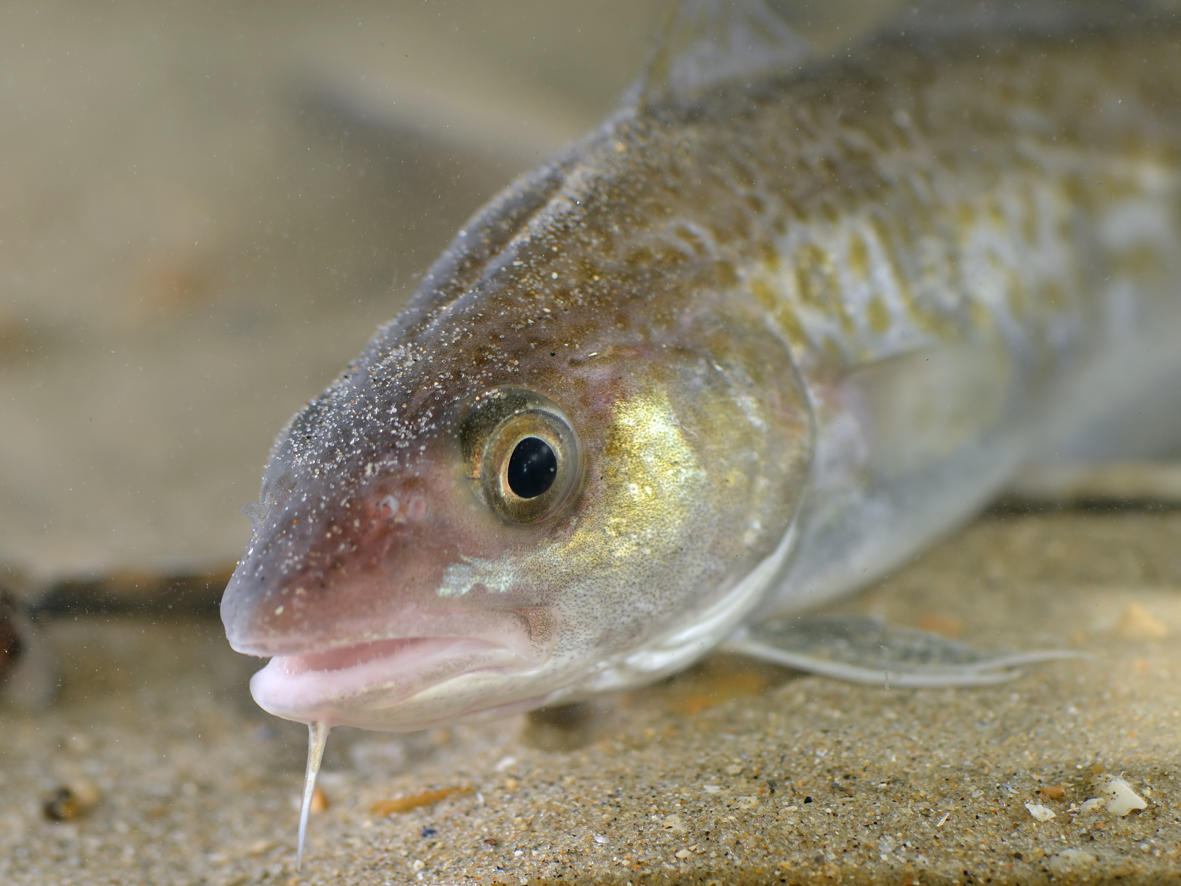 Fishermen help scientists uncover the secret life of cod