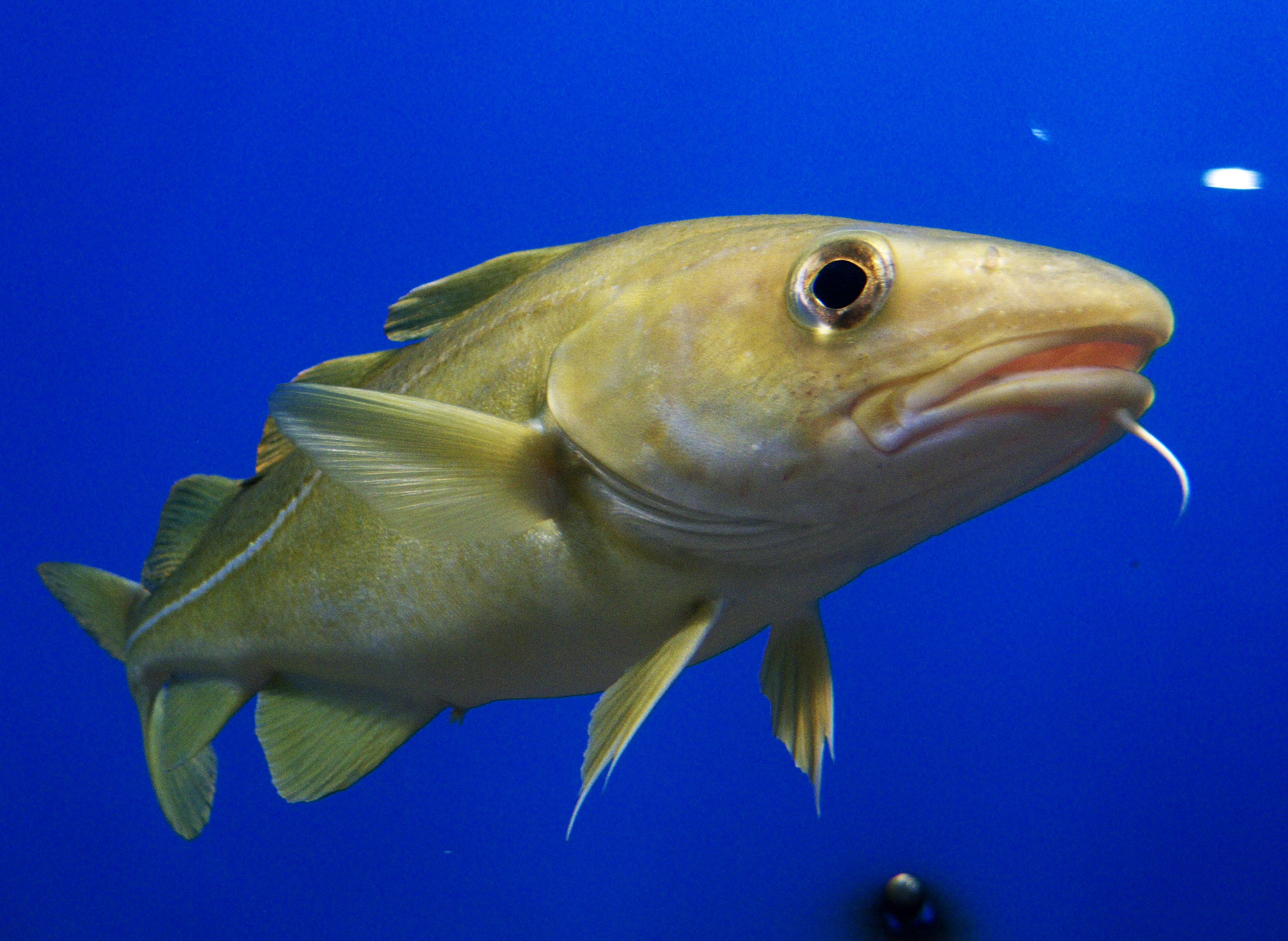 It's a match! Cod do best when paired with copepods