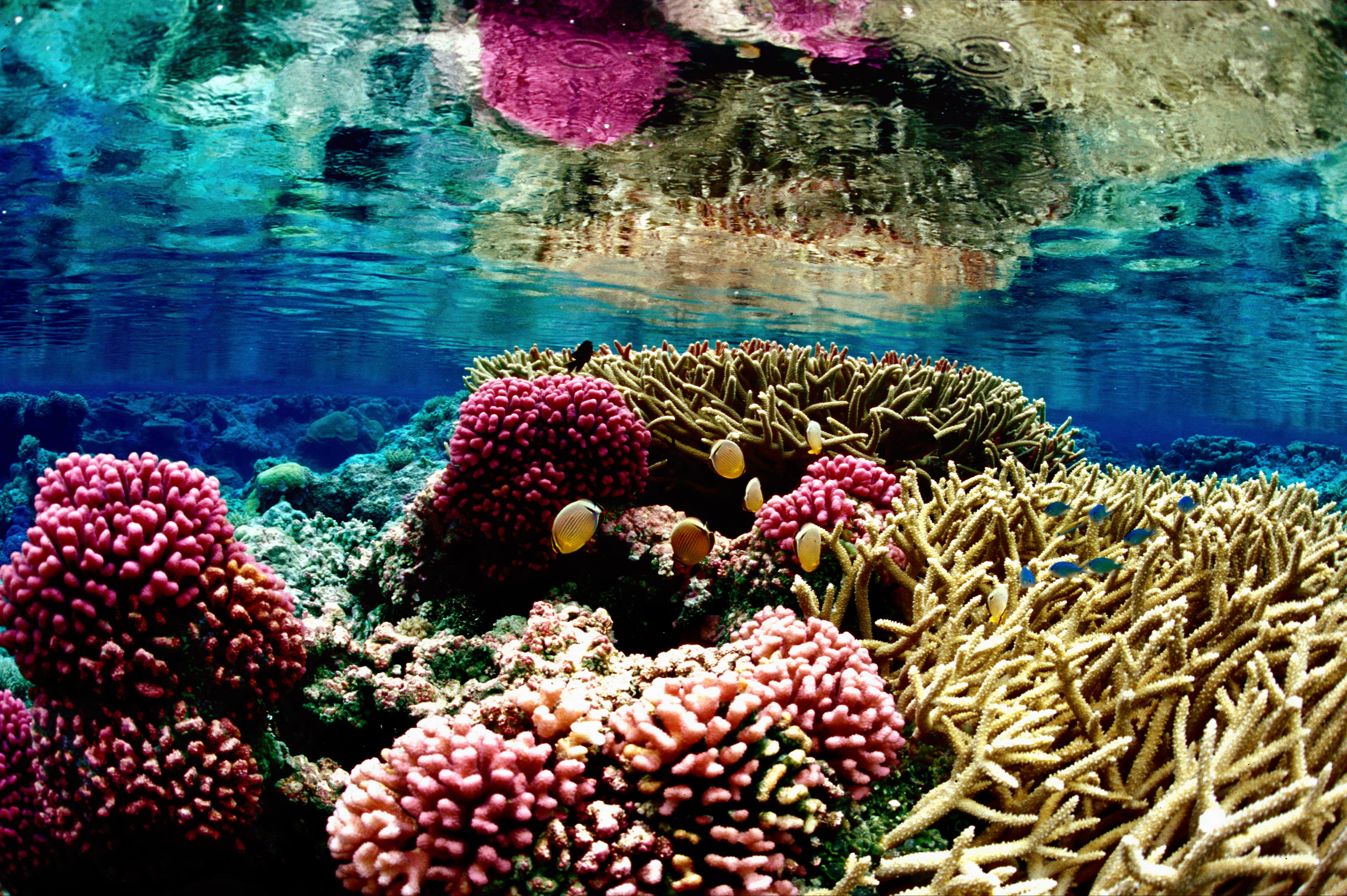 """Two by two includes corals too? Researchers call for a coral """"Noah's Ark"""""""