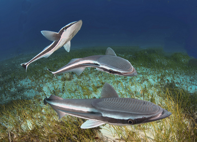 Surf's Up: Suckerfish Have a Whale of a Time