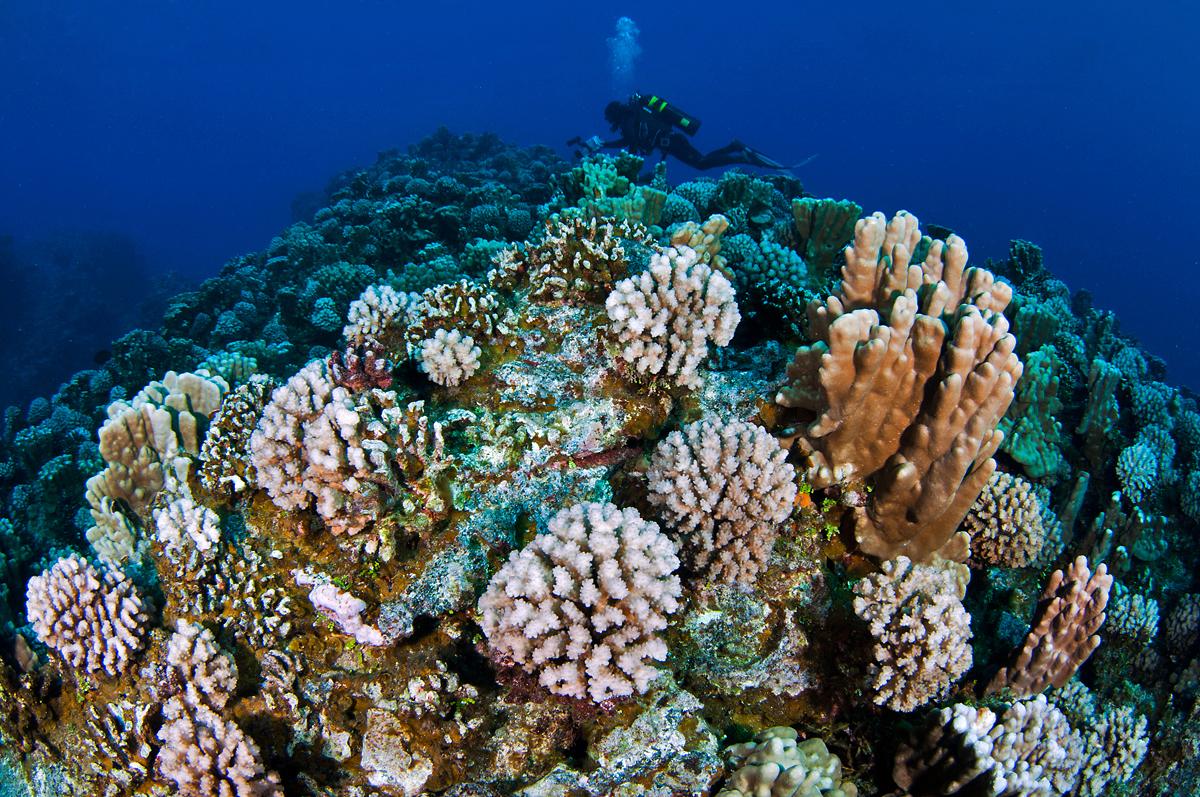 Corals and scuba diver underwater
