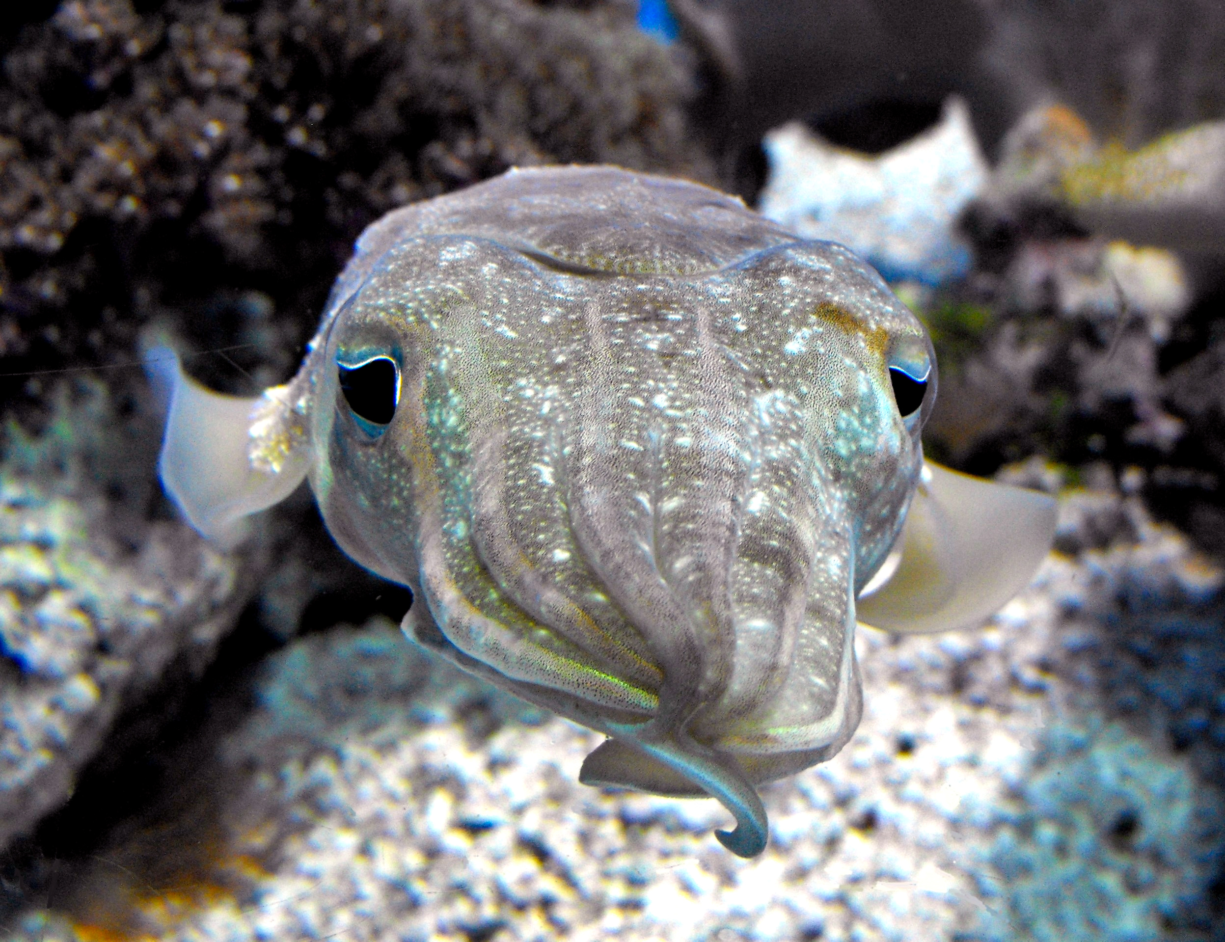 Cuttlefish Cognition: are these oceanic invertebrates capable of learning?