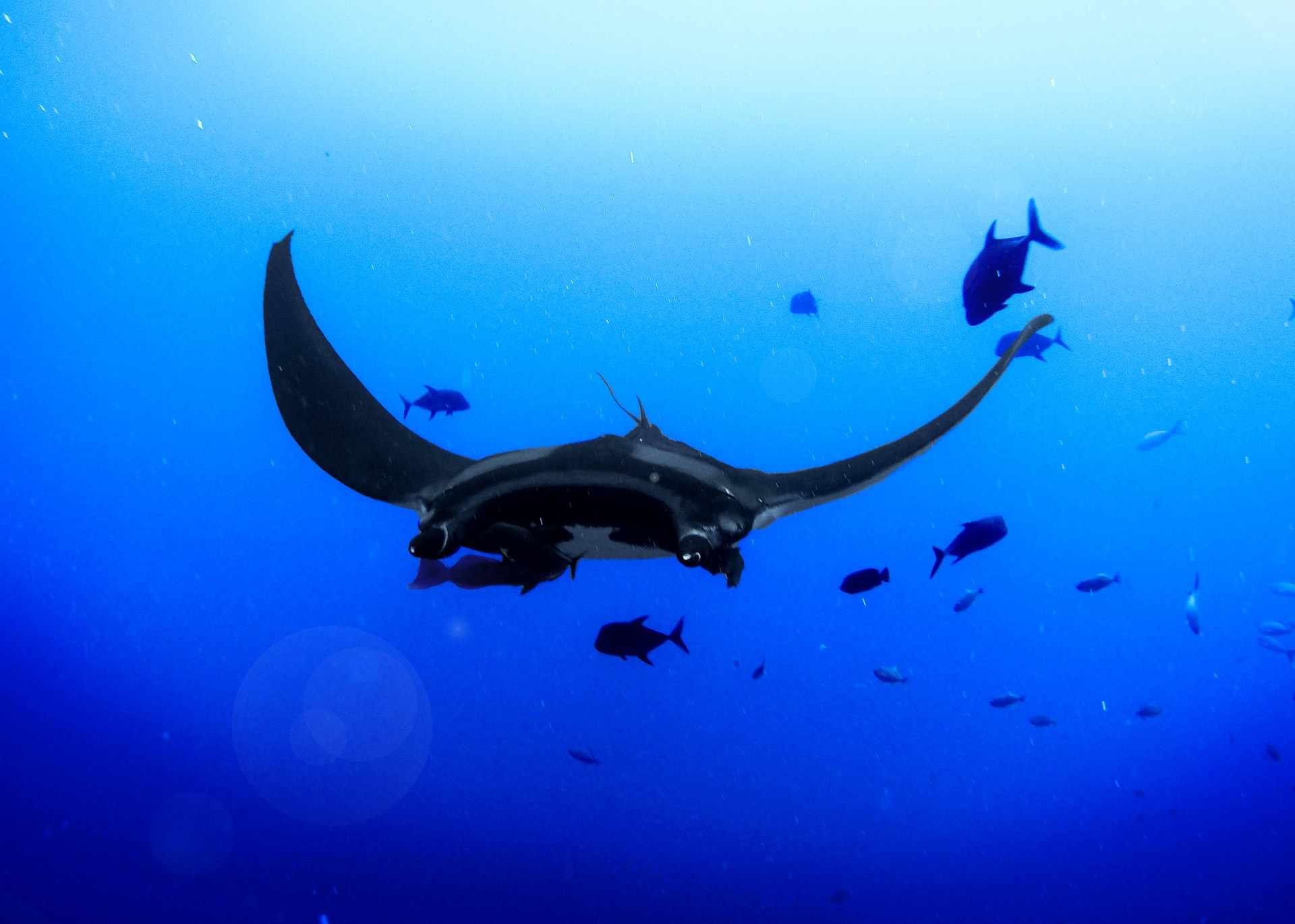 How to find a nursery for a baby manta ray