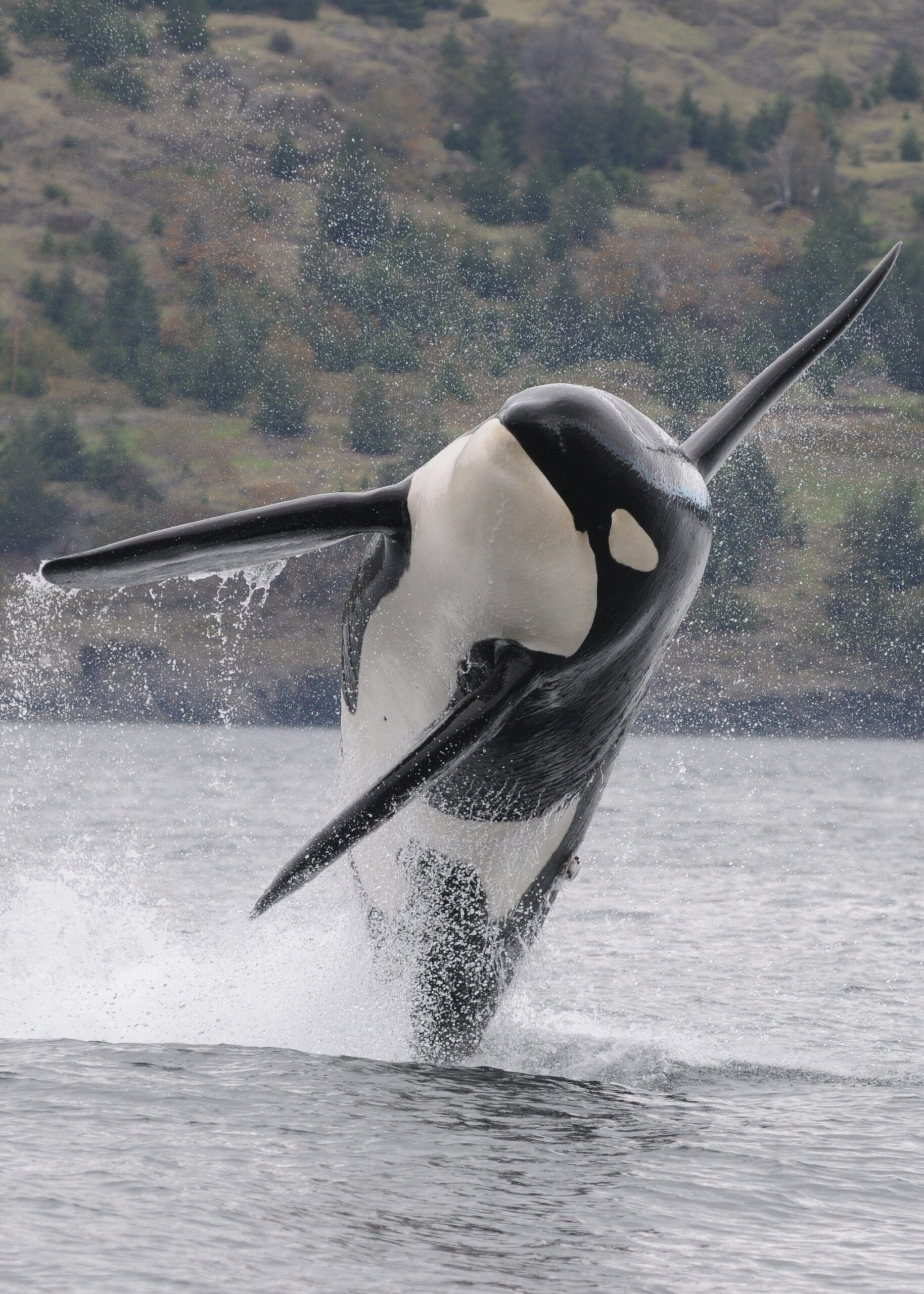 A killer whale, with sharp fins and a black and white body, is seen almost entirely out of the water as it leaps and creates a splash in front of a hill with evergreen trees.