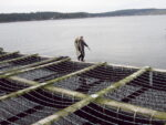 Man tends mussel farm