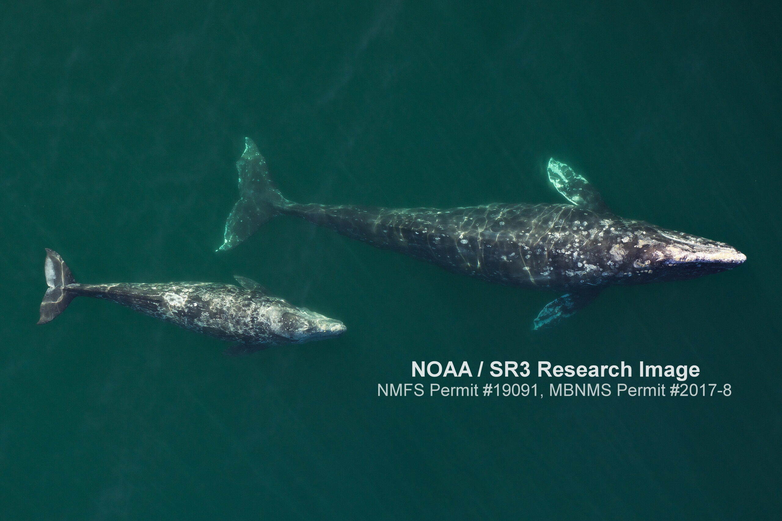 "A larger gray whale and a smaller gray whale, both with mottled white spots, are shown from above swimming side by side in greenish waters. The text reads ""NOAA/SR3 Research Image NMFS Permit #19091, MBNMS Permit #2017-8"""