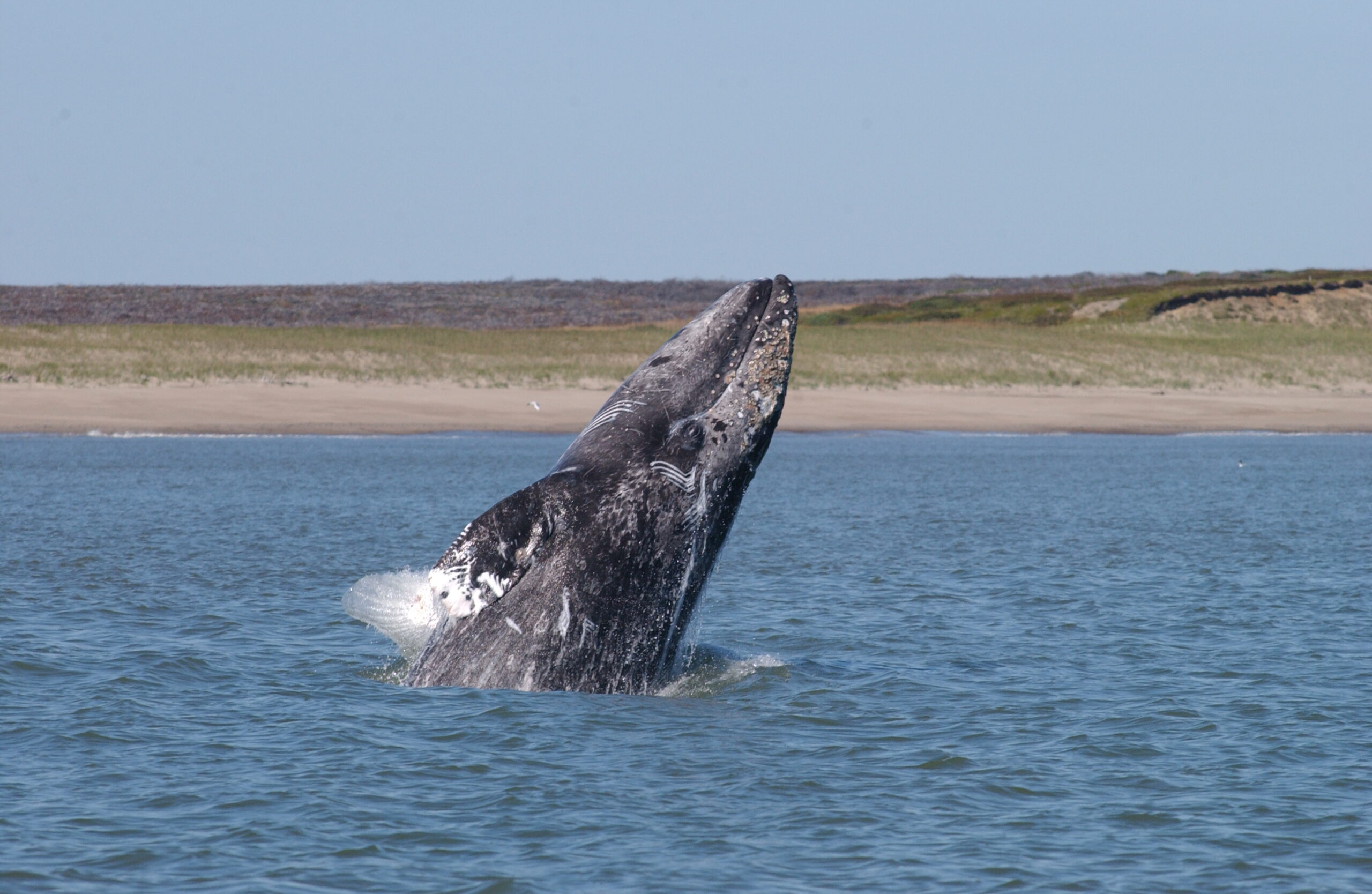 A gray whale's head and flippers are visible as it leaps out of the water in front of a sandy beach and green hills.