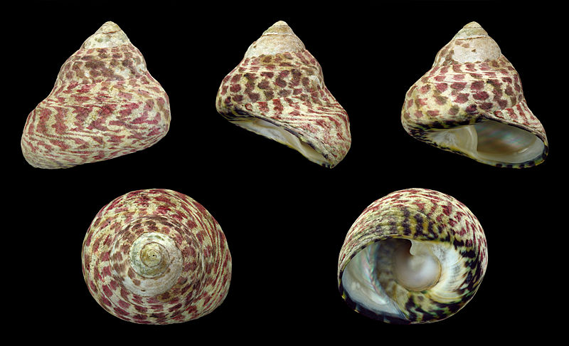 The speckled shell of a top snail is place on different sides of the shell for a full view.