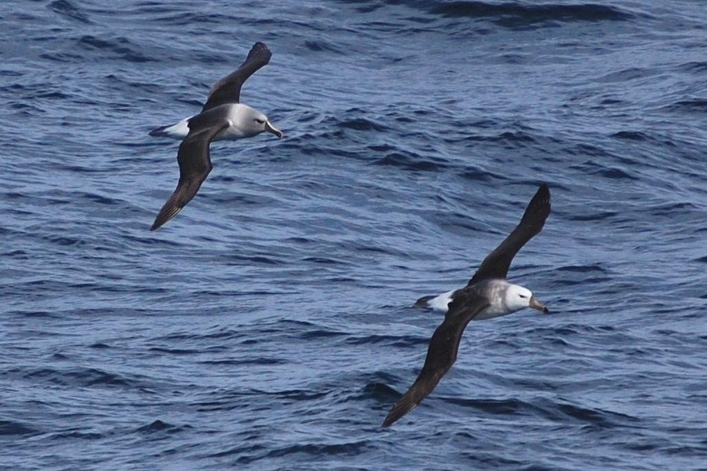 Plastic in the ocean chokes albatrosses