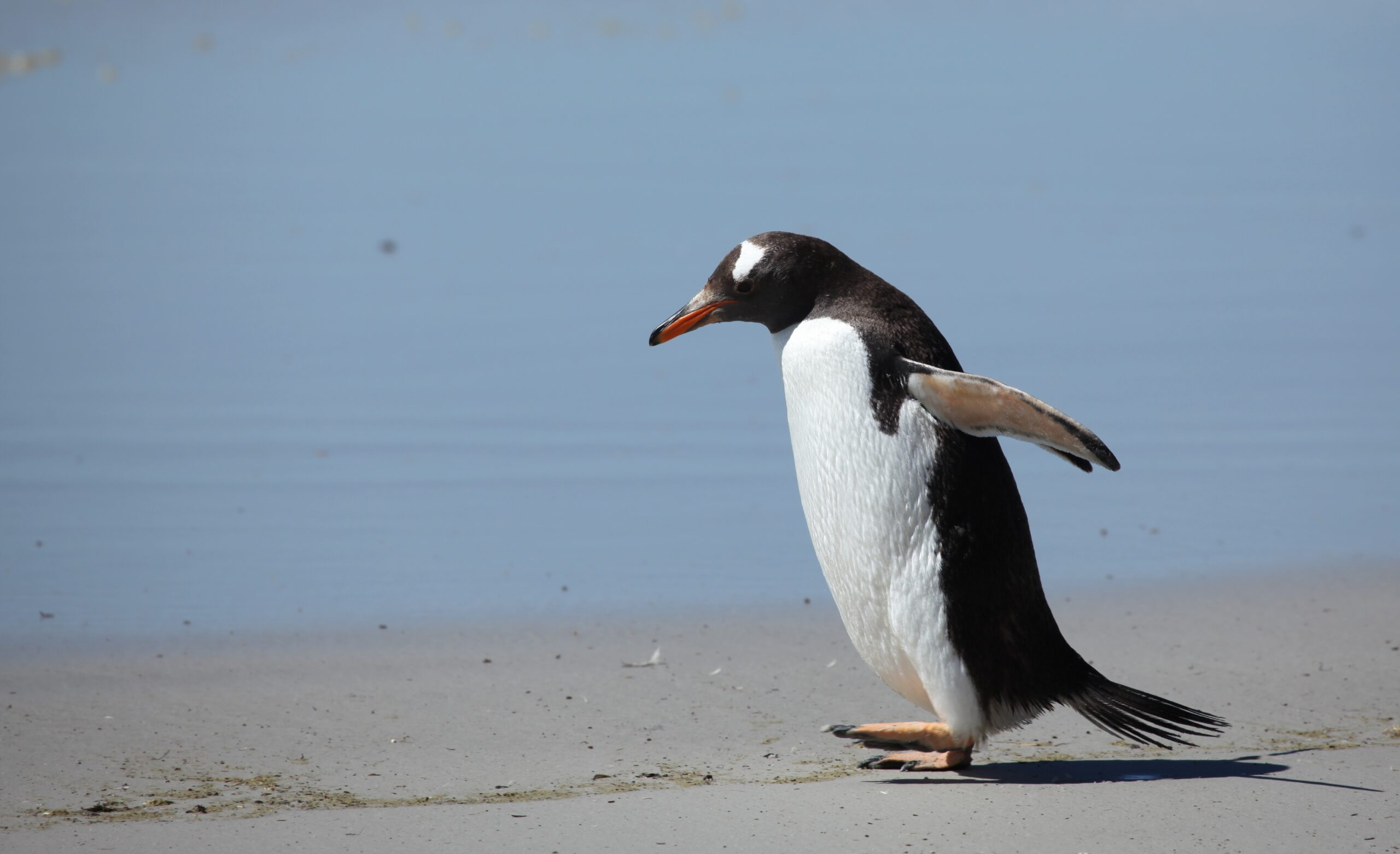 Warming up to the neighborhood: a gentoo penguin's new digs