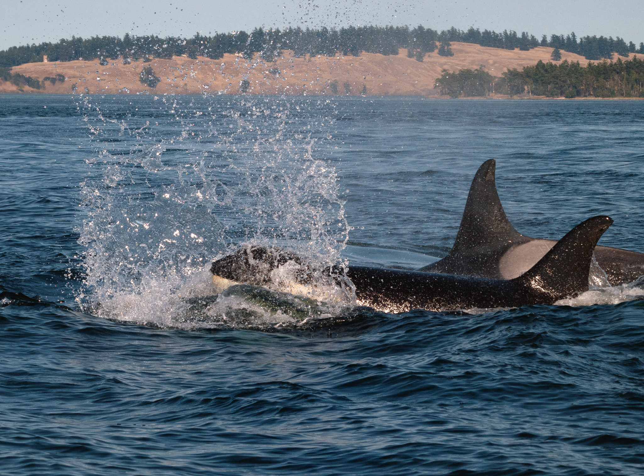 Killer Consequences: How boats affect the behavior of endangered killer whales