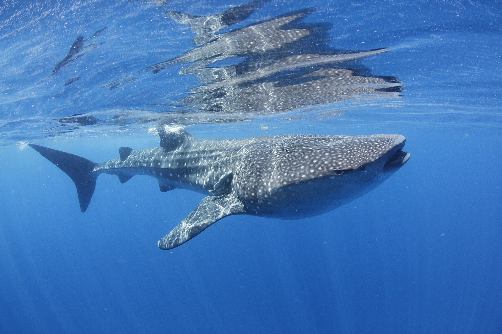 The Regenerative Power of Whale Sharks