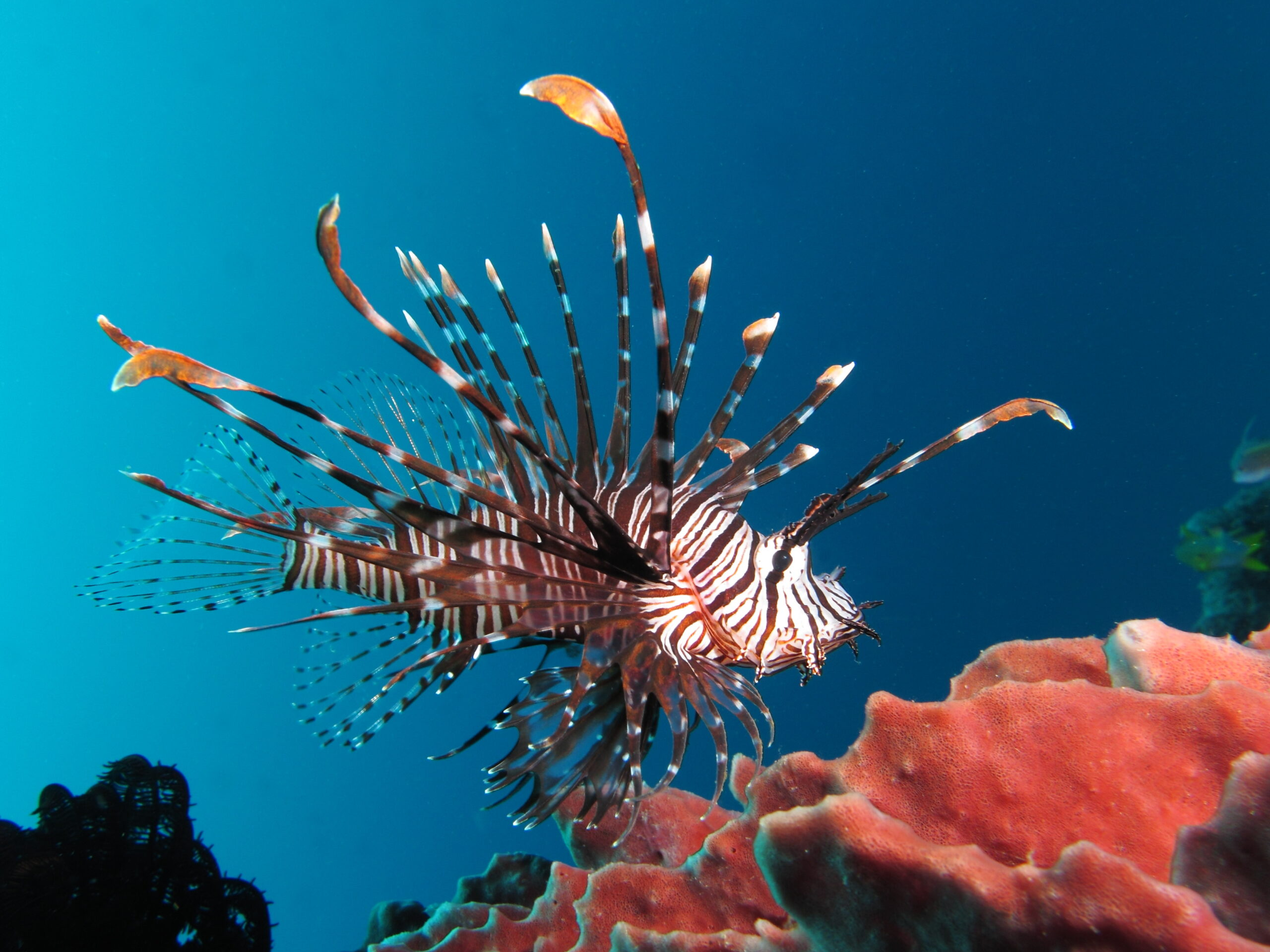 The Circle of Life: Understanding Lionfish Life Cycles