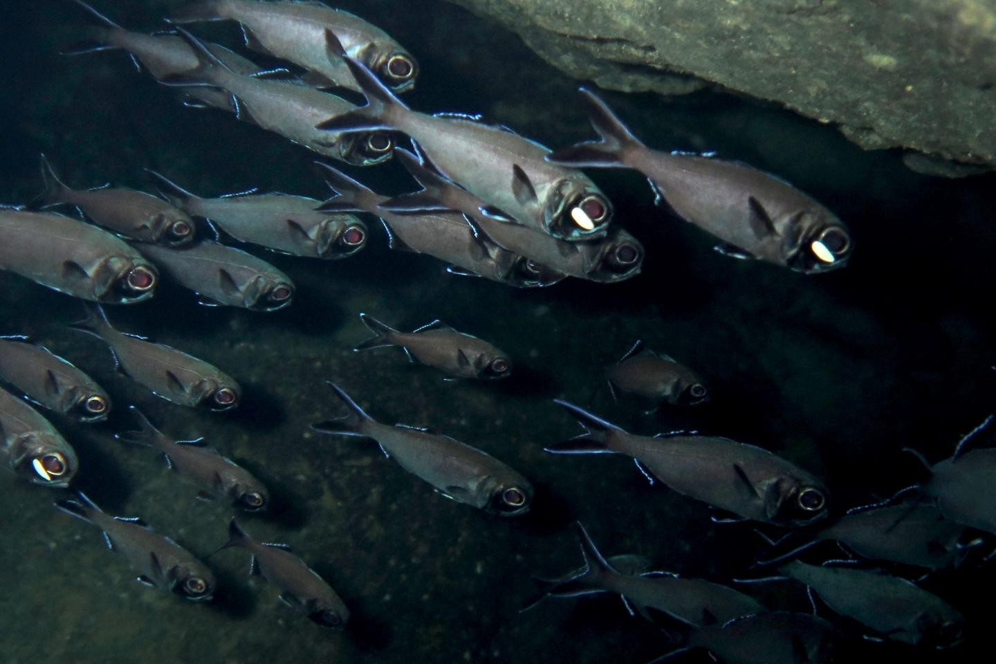 To communicate with members of its own species, flashlight fish uses a special type of morse code