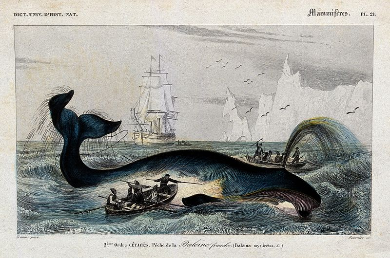 "An engraving of a blue and gray baleen whale with a spout of water at the surface as two row boats full of men approach with harpoons. A tall ship with sails, a flock of birds, and tall icebergs are in the background. The border says ""Dict. Univ. D'hist. Nat."" in the top left, ""Mammiferes Pl. 21"" in the top right, and the caption says ""2eme Ordre cetaces. Peche de la Baleine franche (Balaena mysticetus)."""