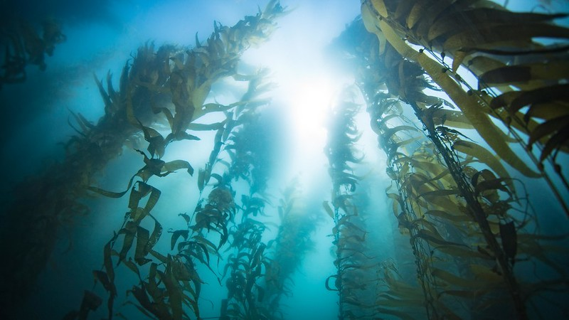 The Death of an Ecosystem: Understanding the Collapse of Northern California's Kelp Forests