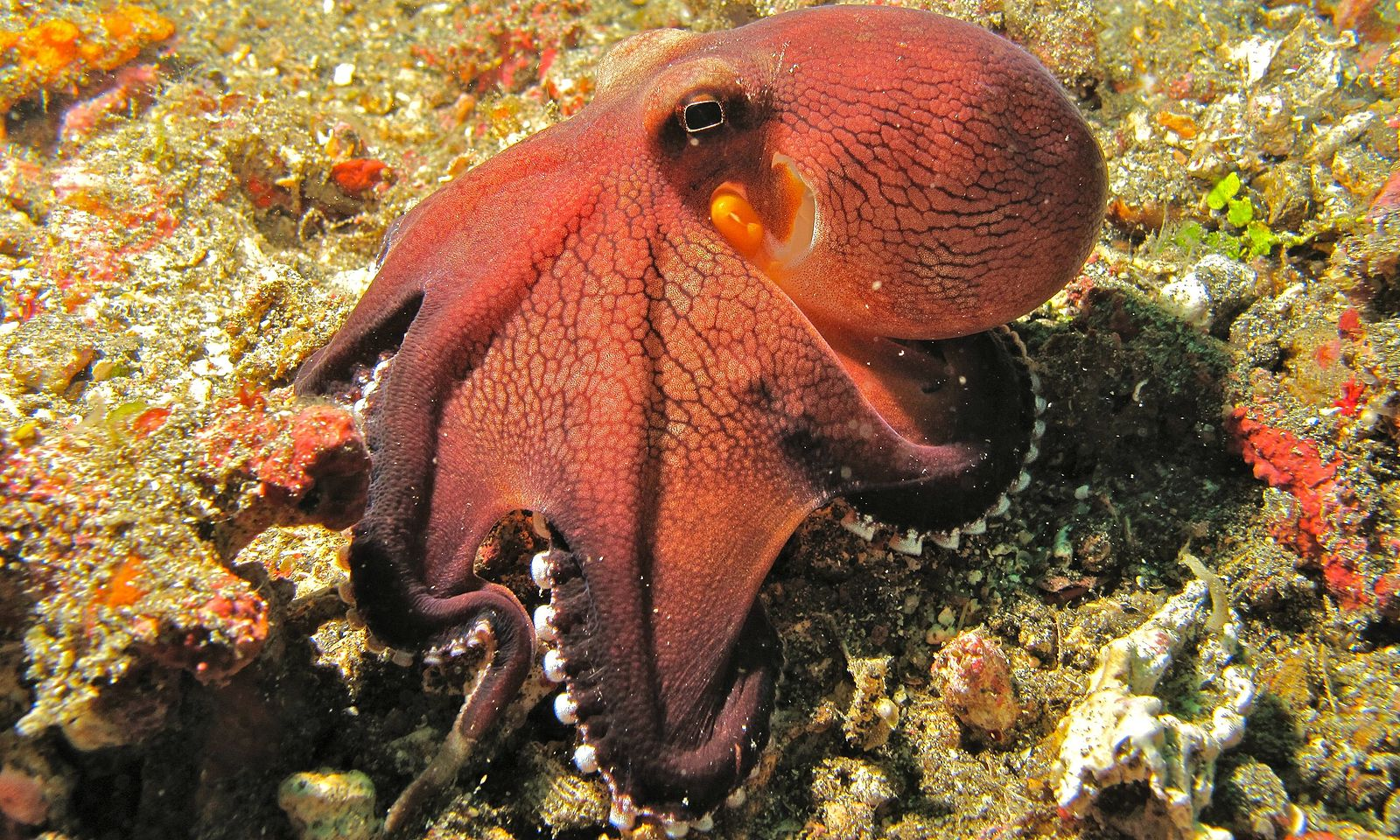 A red octopus seen in profile sits on top of sandy coral.