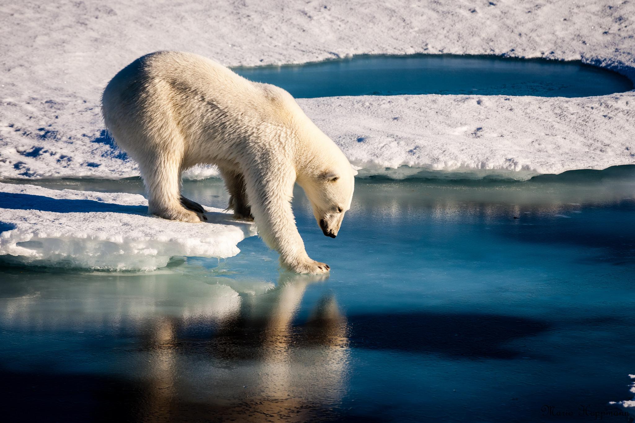 Bearing teeth: How polar bear dental health can illustrate climate change