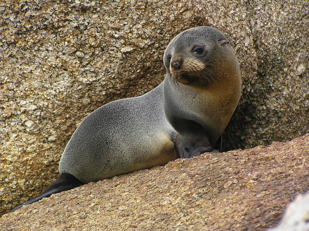 Sea lions and seals and PFAS, oh my: Location still matters for Australian pups