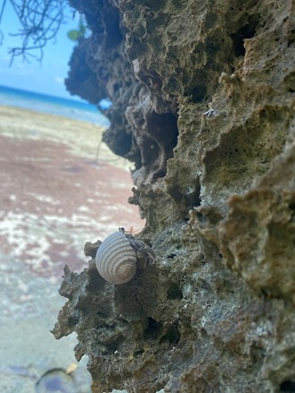 Image of hermit crab on rock structure with beach in the background.