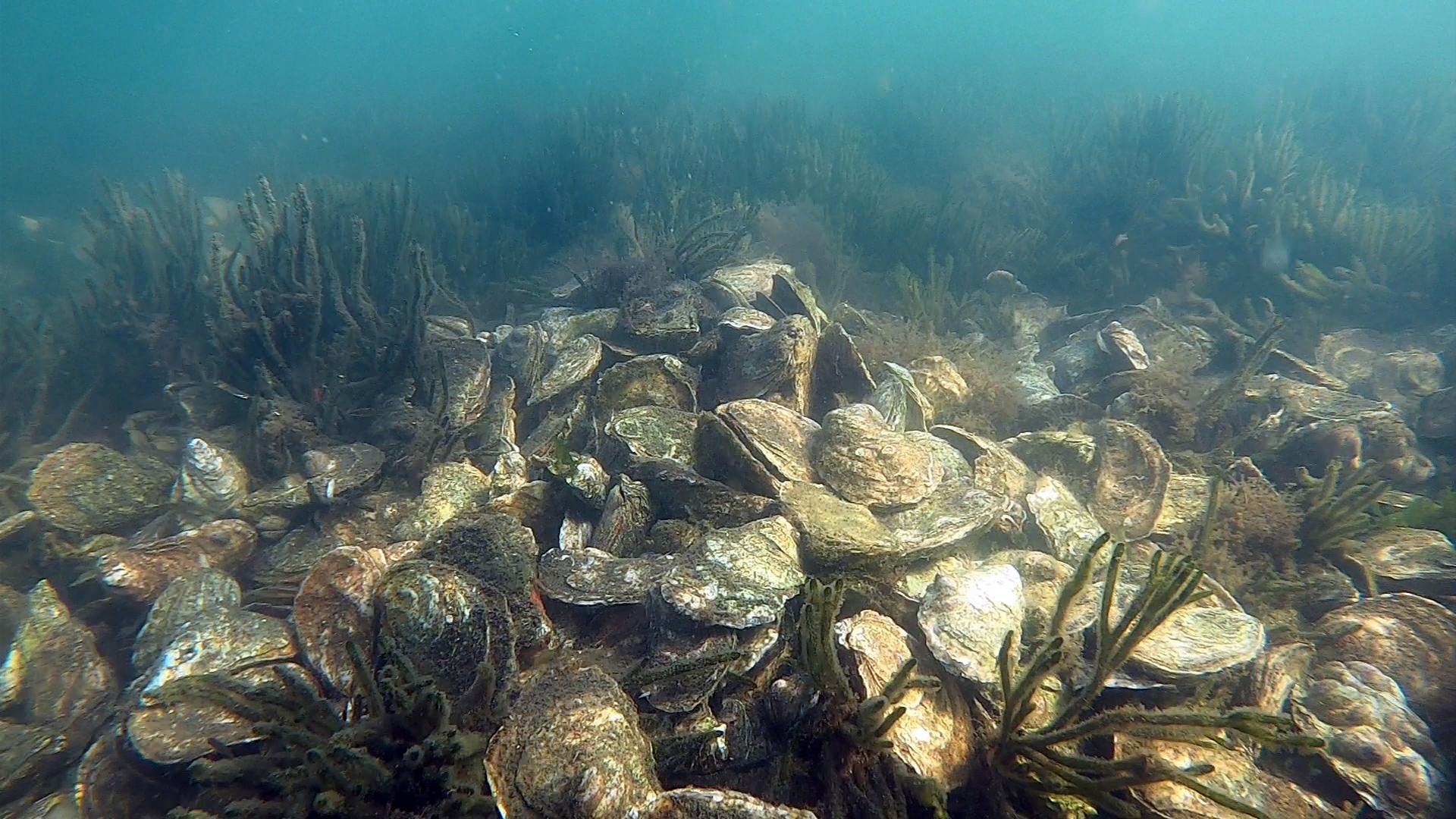 Shells and cells: Lack of oxygen and the presence of bacteria contribute to oyster mortality