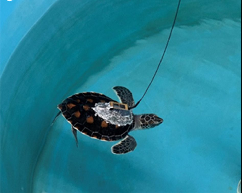 Where do baby sea turtles go?