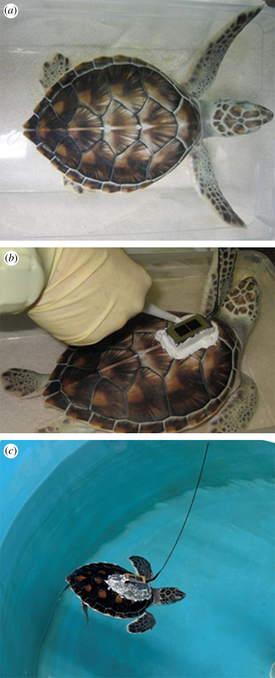 Three images stacked vertically, the first showing a baby green sea turtle with greenish limbs/head and a brown shell, the second showing a gloved hand gluing a piece of technology to the turtle's shell, and the third showing a small sea turtle swimming in a pool with the tag stuck to it's back and an antenna sticking up.