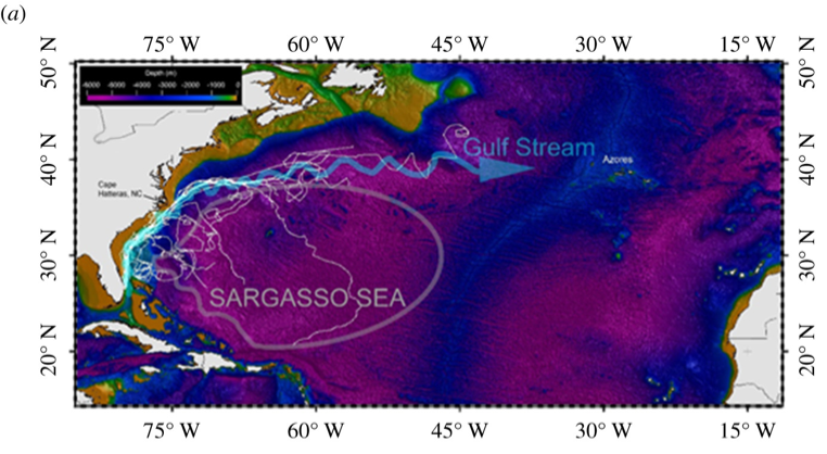 A map of the Eastern US and the North Atlantic Ocean, with a circle representing the Sargasso Sea and lines extending Northeast from Florida showing the tracks of tagged sea turtles.