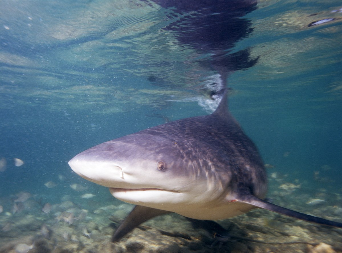 Shark Sleuthing: How scientists can identify which species of sharks attack