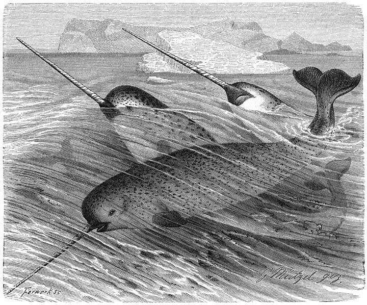 Narwhal Tusks Indicate Changing Mercury Levels in Arctic Waters